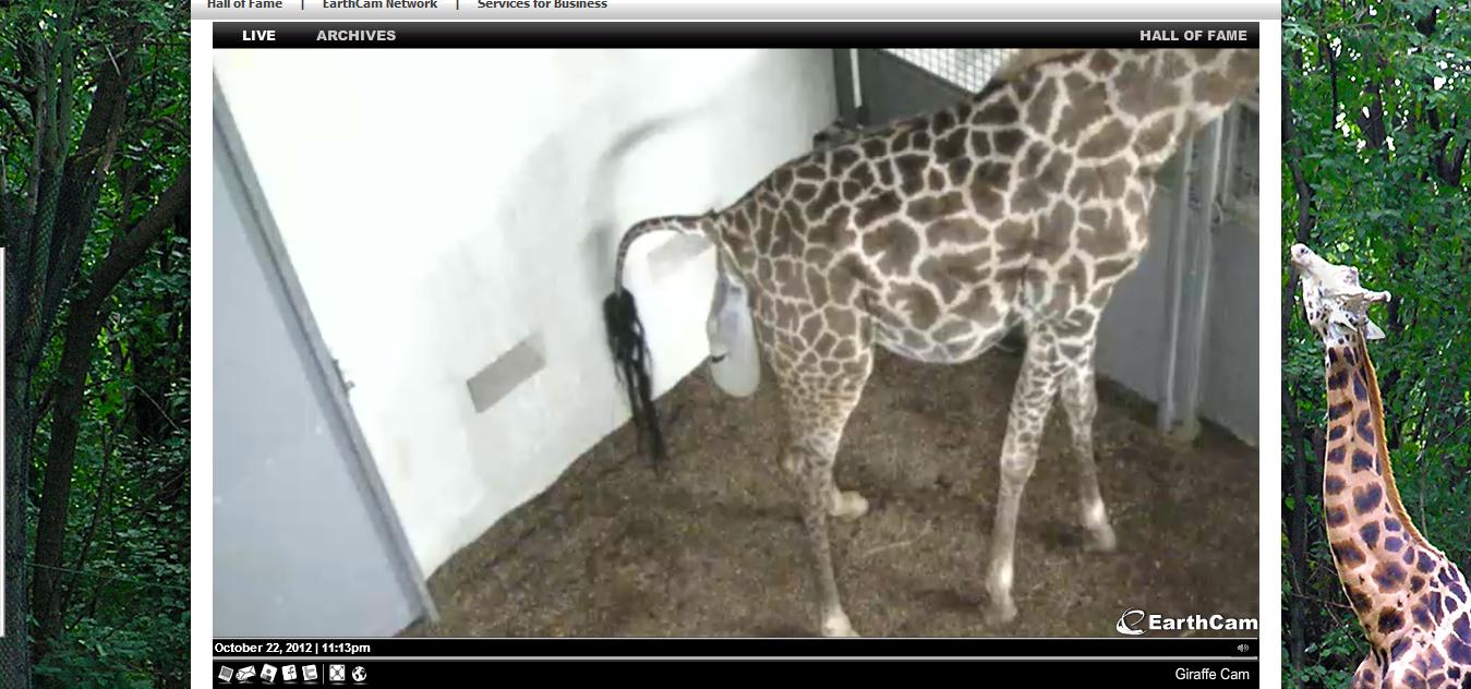 Giraffe Baby Room Pictures