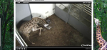 FireShot Screen Capture #062 - 'EarthCam - Giraffe Cam' - www_earthcam_com_usa_southcarolina_greenville