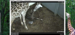 FireShot Screen Capture #096 - 'EarthCam - Giraffe Cam' - www_earthcam_com_usa_southcarolina_greenville