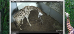 FireShot Screen Capture #101 - 'EarthCam - Giraffe Cam' - www_earthcam_com_usa_southcarolina_greenville